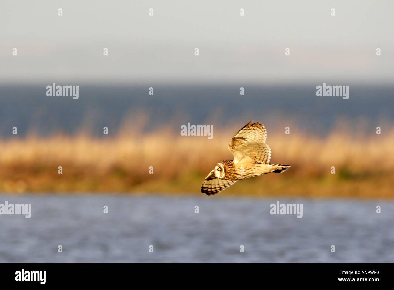 Sumpfohreule fliegen bei wintering Boden Stockfoto