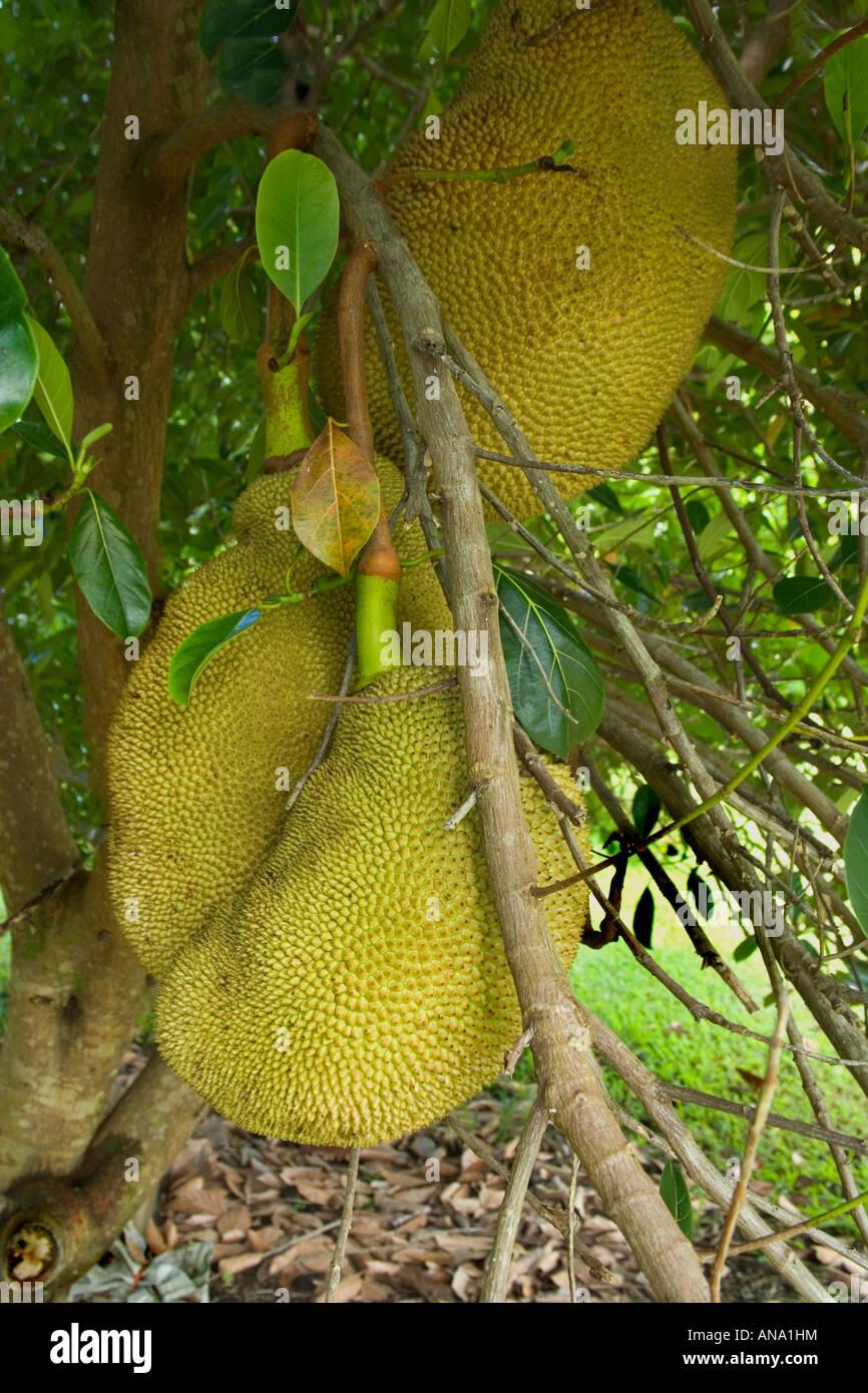 Jackfrucht wächst auf Ast. Stockbild