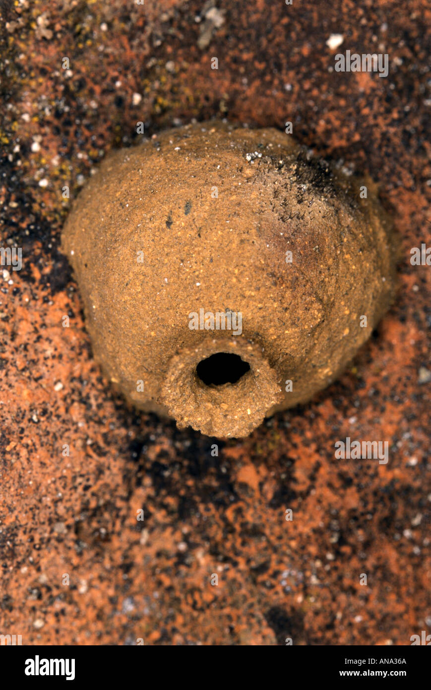 Verschachteln Von Potter Wespe Vespidae Eumeninae Auch Bekannt Als