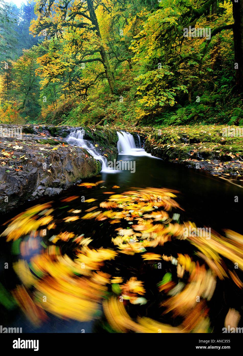 M00182M Tiff Herbst farbige Big Leaf Maple Blätter wirbeln in North Fork Silver Creek Silver Falls State Park-Oregon Stockbild