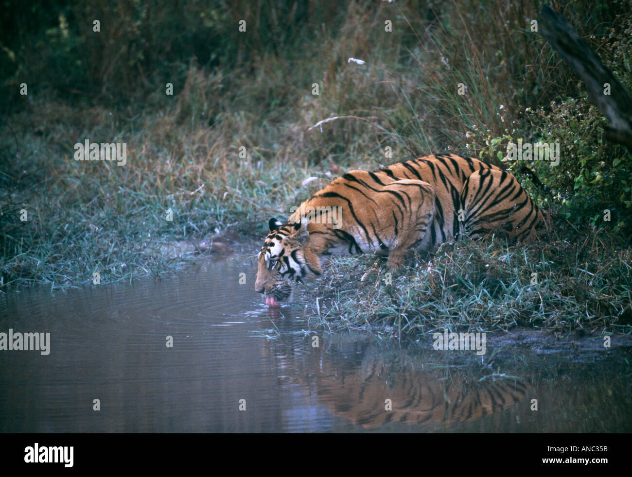 Wilden Bengal-Tiger-Panthera Tigris trinken am Pool in der Dämmerung in Bandhavgarh NP Indien Stockbild