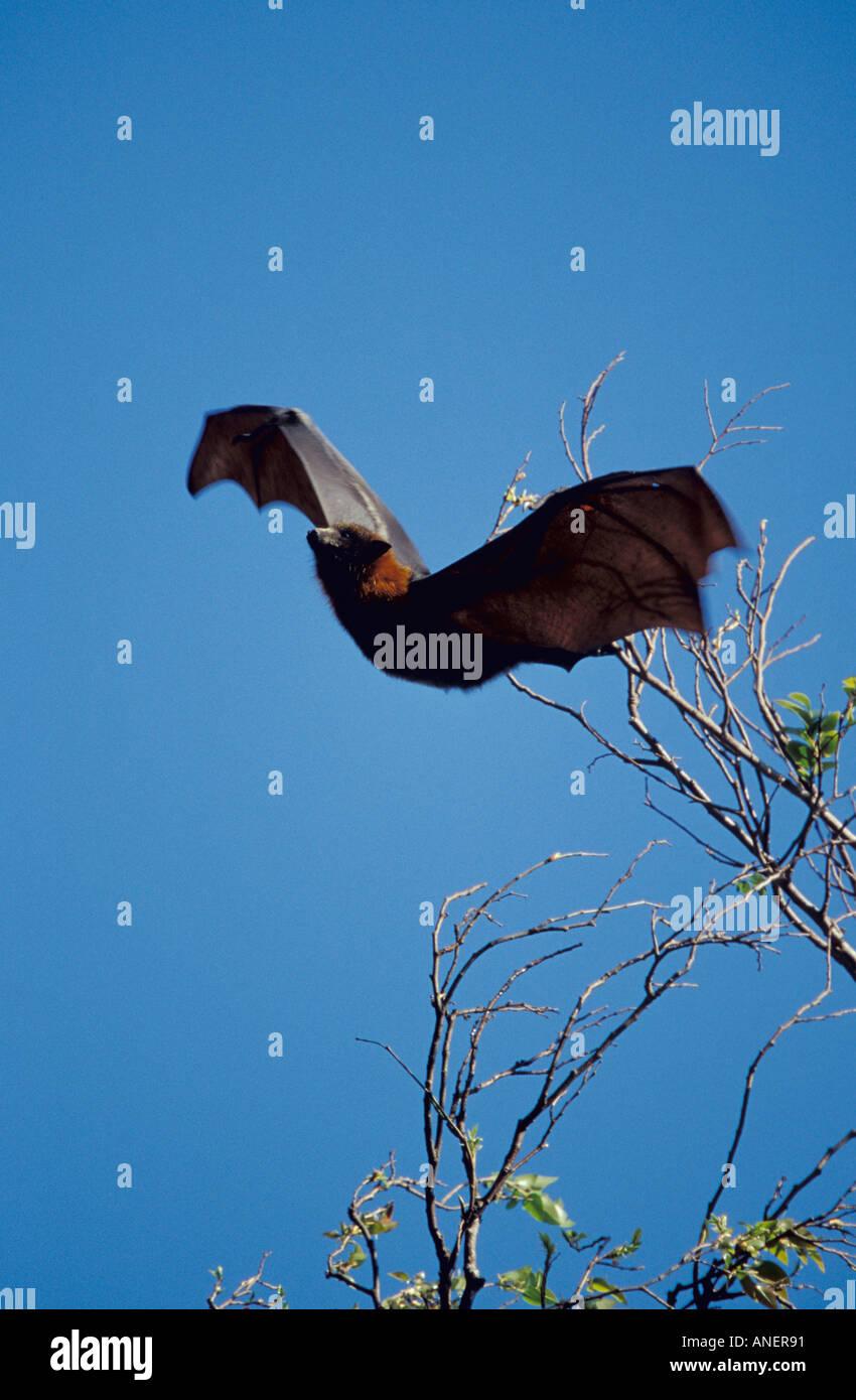 Graue Spitze Flughund Pteropus Poliocephalus fliegen vom Schlafplatz im Baum Sydney Botanic Gardens Stockfoto