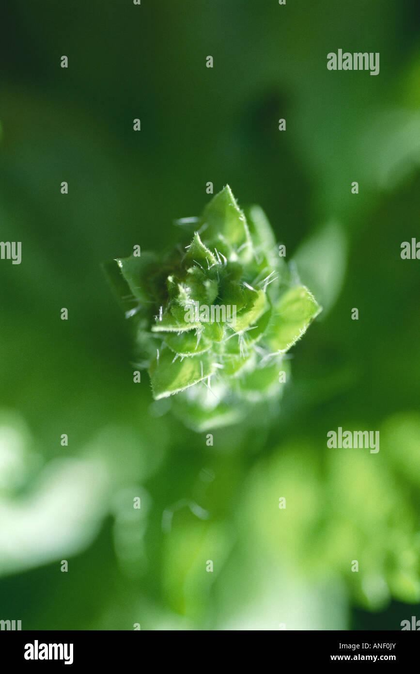 Abstrakte Sicht von Basilikum Pflanze, extremen Nahaufnahmen Stockbild