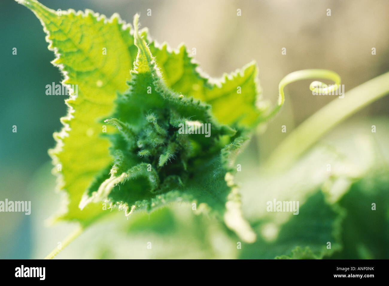 Blätter und Ranken im Gemüsegarten, extreme Nahaufnahme Stockbild