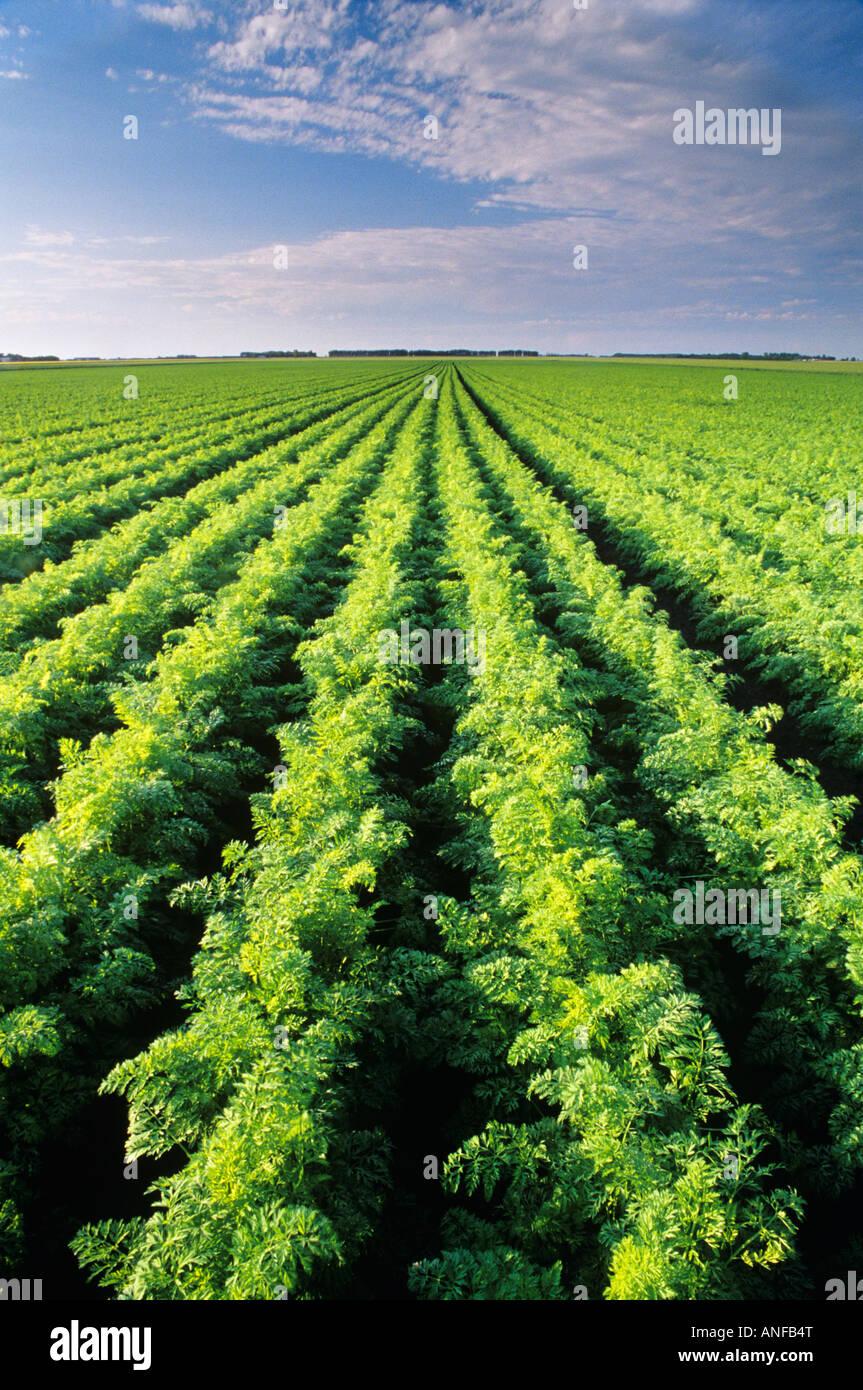 Karotte-Feld in der Nähe von Portage La Prairie, Manitoba, Kanada. Stockfoto