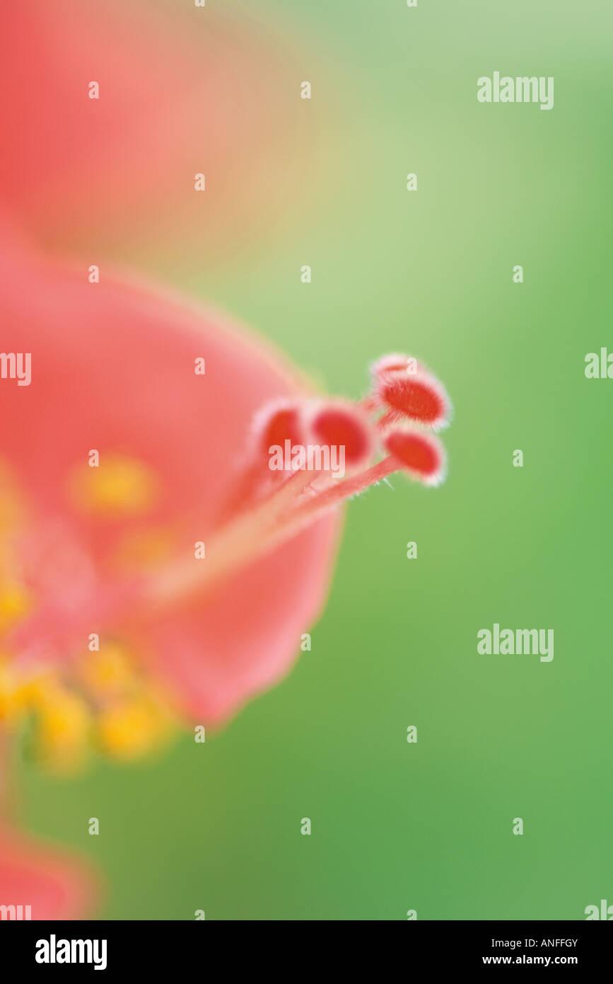 Blume, Staubgefäße und Stempel, extreme Nahaufnahme Stockbild