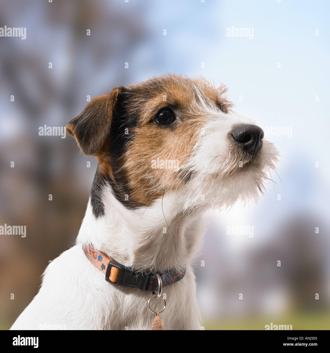 Jack Russell Hund Stockbild
