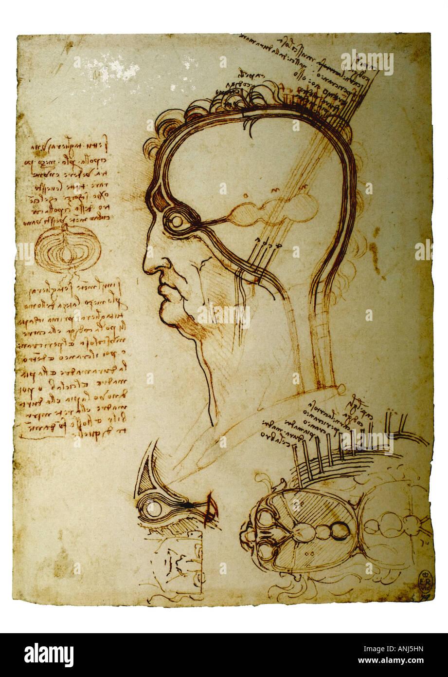 anatomische Studie der Schichten des Gehirns und der Kopfhaut von ...