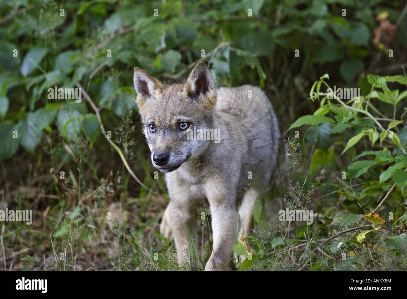 junger wolf wolf canis lupus baby kind stockfoto bild 15553987 alamy. Black Bedroom Furniture Sets. Home Design Ideas