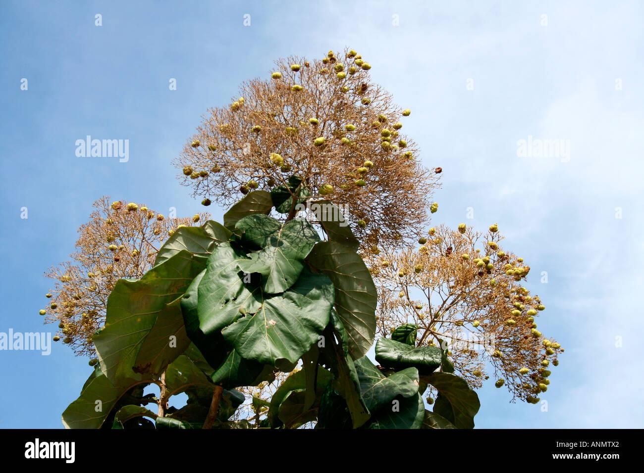 Teakholzbaum  Schließen Sie oben ein Teakholzbaum vor blauem Himmel in Kerala ...