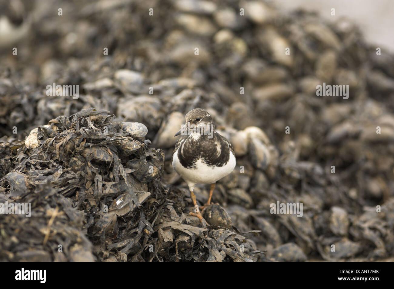Steinwälzer Arenaria Interpres auf Muschel verderben Heap Norfolk England Januar Stockbild