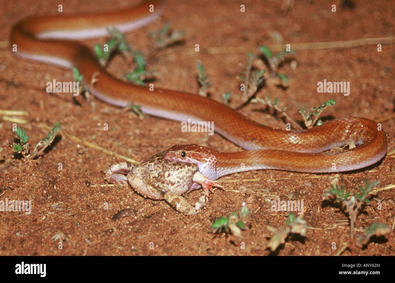 Namibia Haus Kaufen brown haus schlange lrophis fuliginosus essen tremolo sand frosch tomopterna cryptotis in