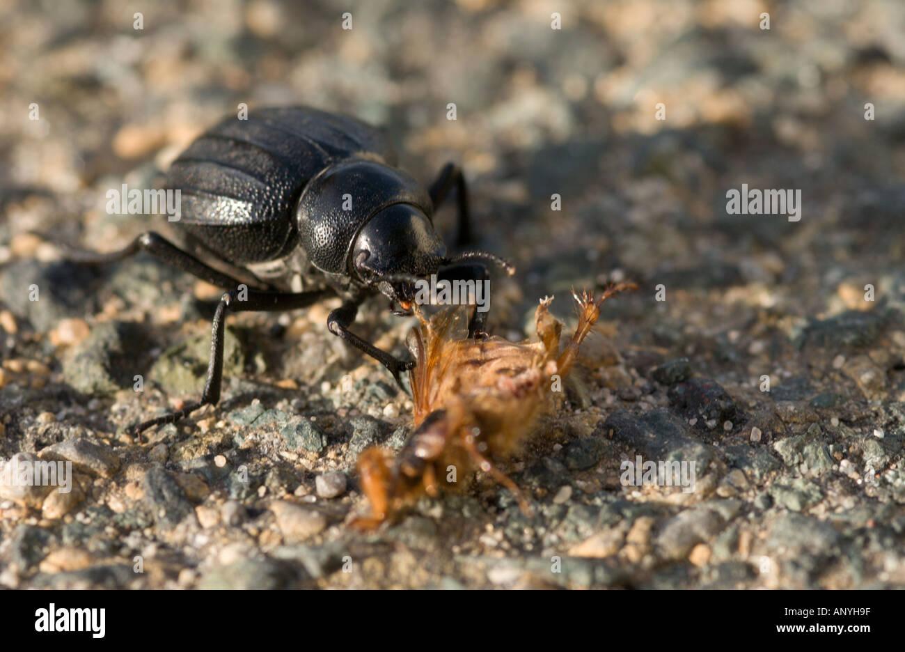 schwarzer boden k fer aus laufk fer familie ern hren sich von anderen insekten aas do ana np. Black Bedroom Furniture Sets. Home Design Ideas