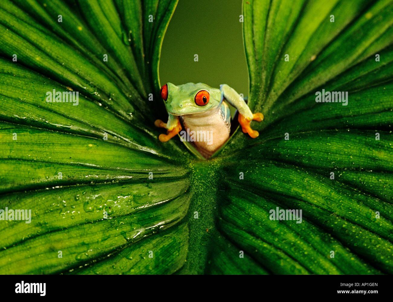 Red eyed Laubfrosch spähte durch Blatt gefangen Stockbild