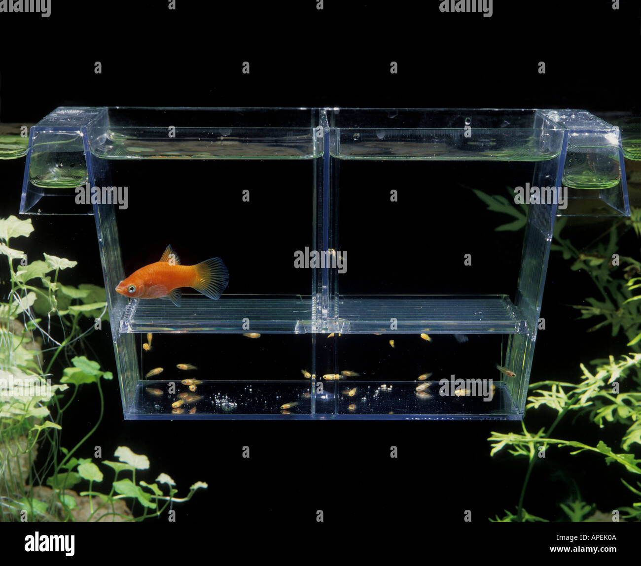 Platy fish stockfotos platy fish bilder alamy for Aquarium hintergrund ausdrucken