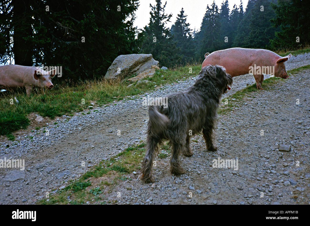 neugierig lustige treffen Hund Schnautzer gemischt züchten gehen auf eine Spur in den Bergen in den Alpen im Tessin Schweiz Stockbild