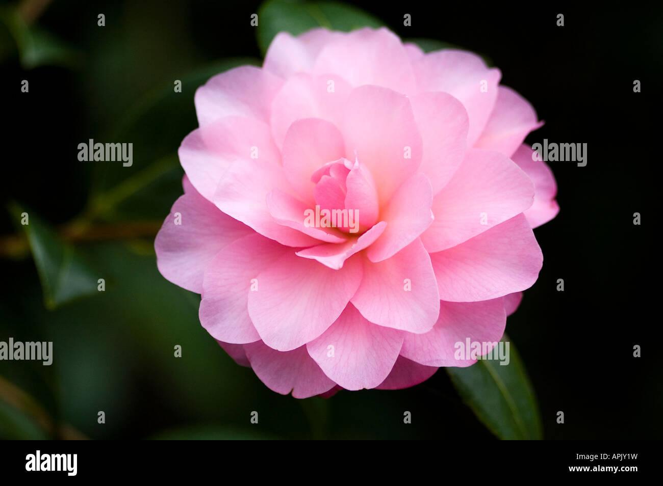 Winter Garten immergrüner Blütenstrauch mit zarten rosa Blüten Stockbild