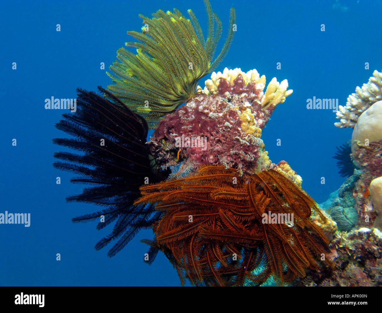 Korallen Agincourt Reef Great Barrier Reef Nord-Queensland-Australien Stockfoto