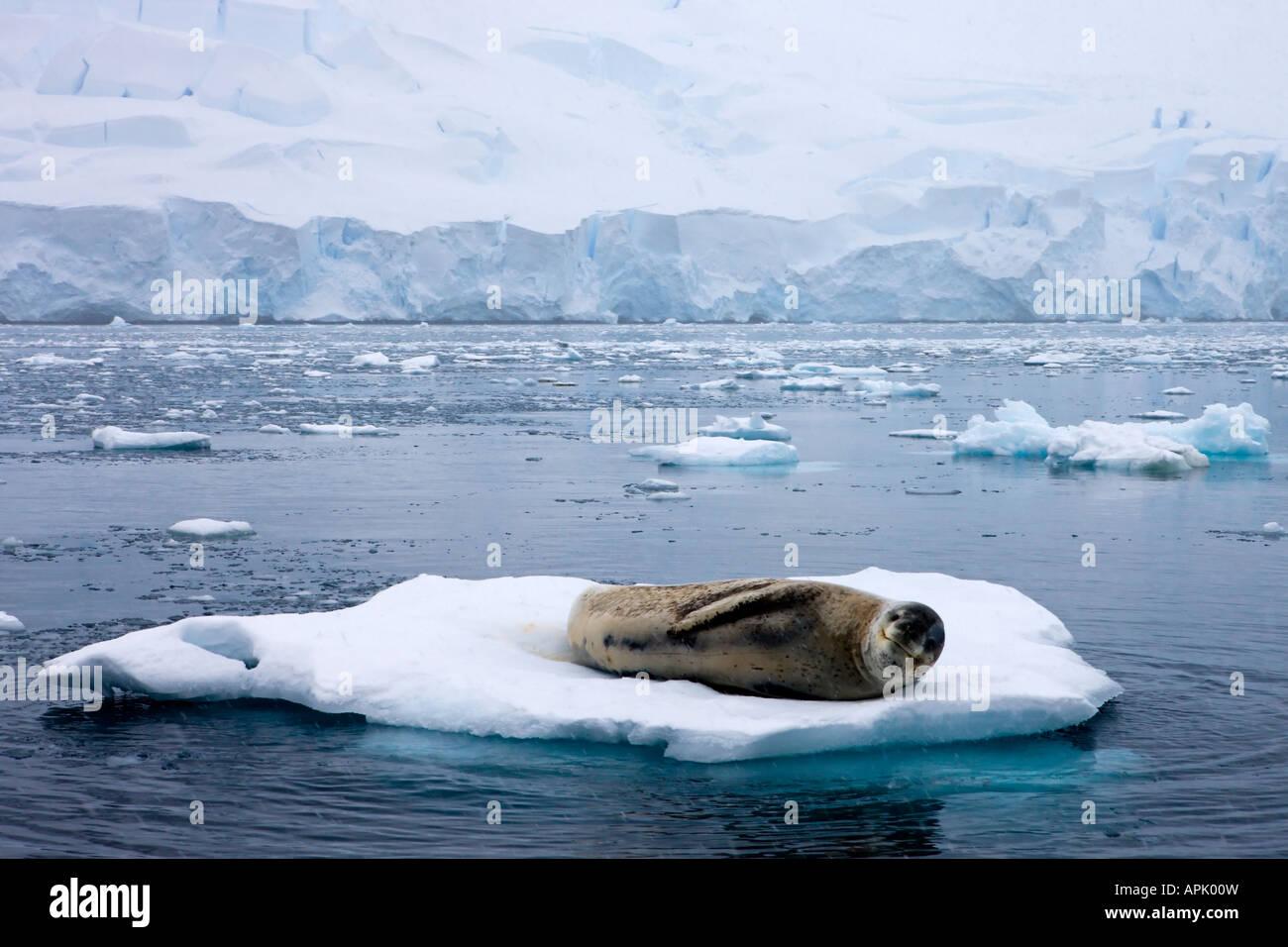 Seeleopard ruht auf einer Eisscholle in der Antarktis Stockbild