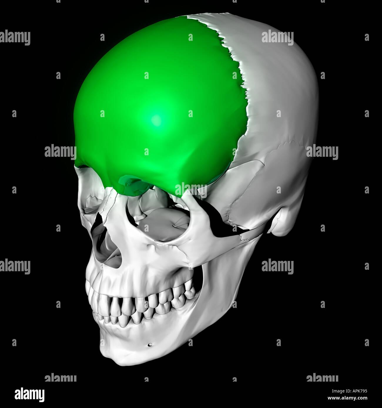 Erfreut Anatomie Schädel Test Fotos - Menschliche Anatomie Bilder ...