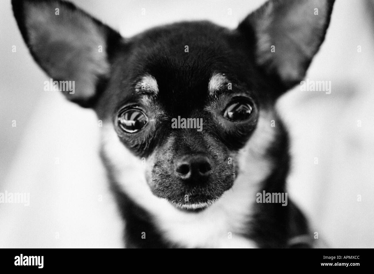 Black And White Small Dog Stockfotos & Black And White Small Dog ...