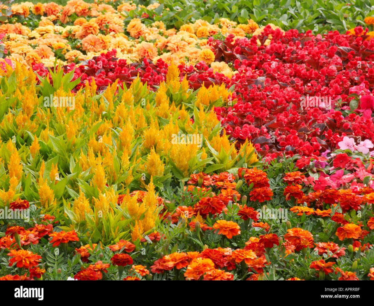 Tatton Blume zeigen traditionelle Rat bunte Sommerblumen einschließlich Celosia beschäftigt Sexplosion und Tagetes Pflanzen Stockfoto
