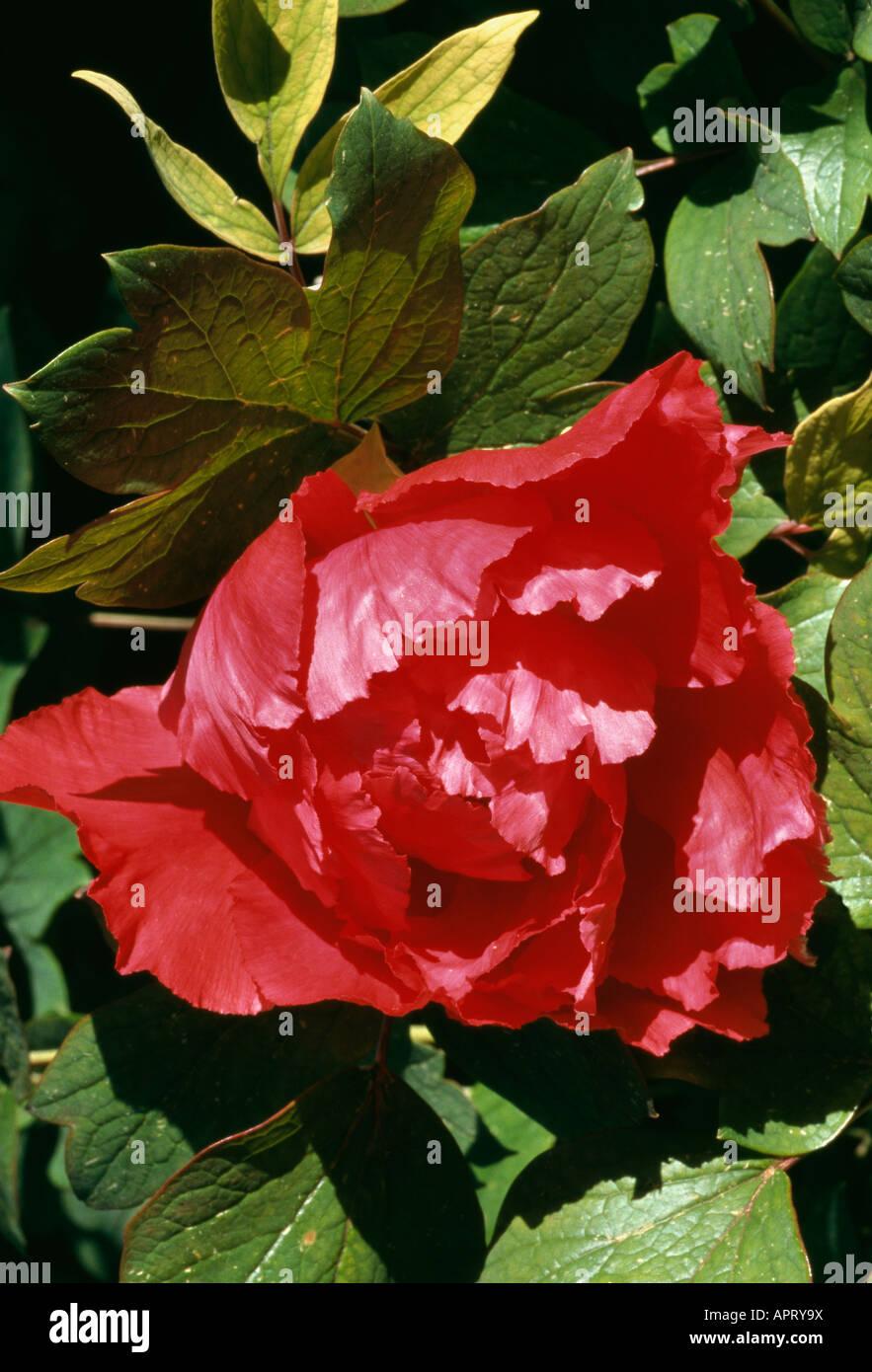 Paeonia Suffruticosa rot Doppel secre Stockbild