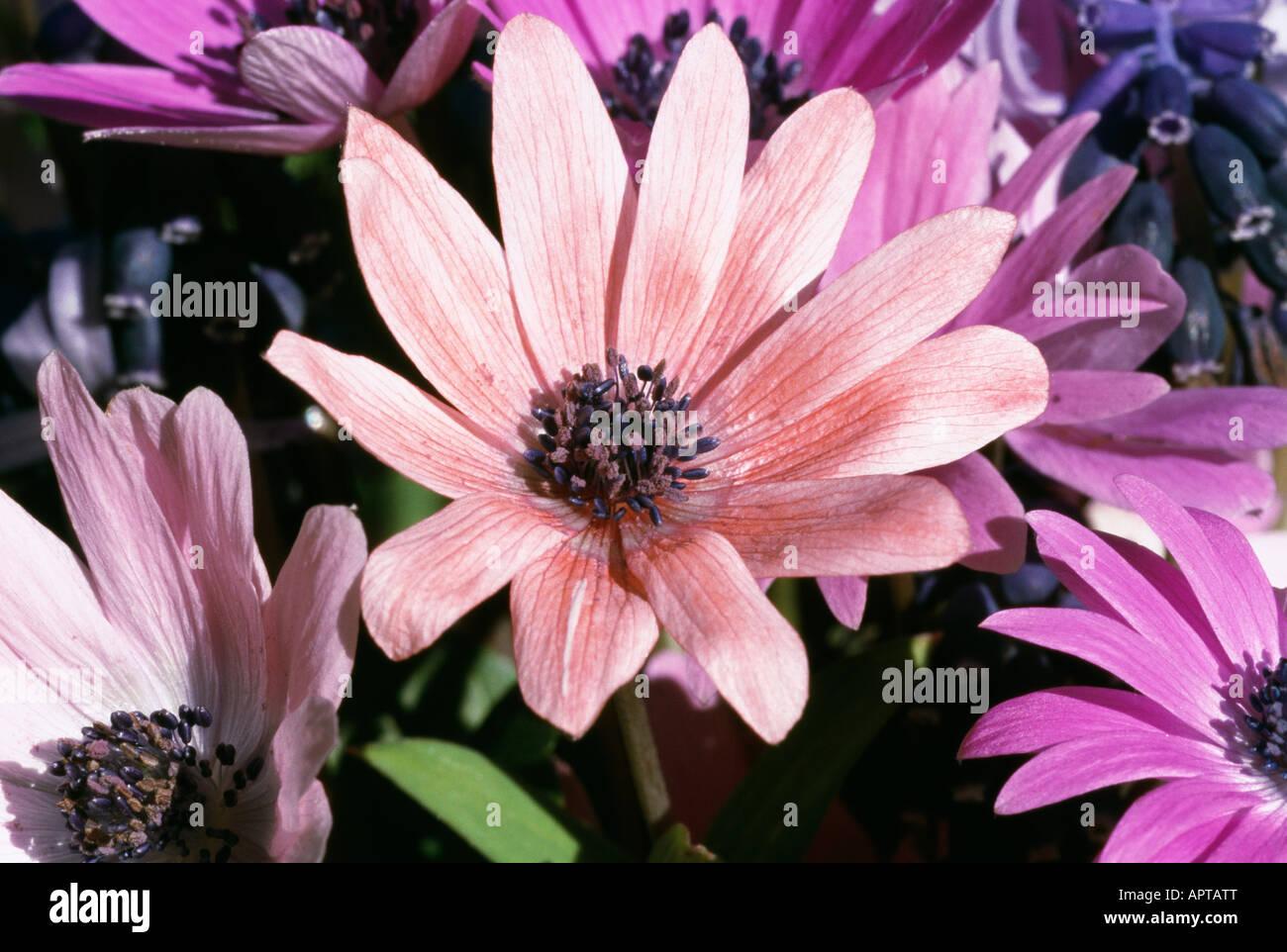 Anemone Blanda Schattierungen von rosa und blau, wenn der Frühling ist zurück Stockbild