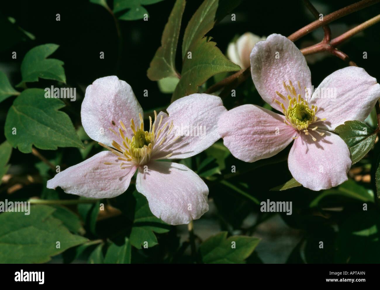 Clematis Montana rosa zart liebenswerte zarte einladen Stockbild