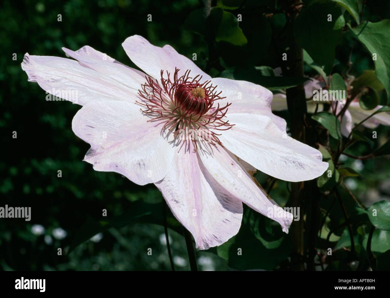Clematis Morgengrauen blass rosa bot ein Stern zur Sonne eine auffällige Herz Stockbild