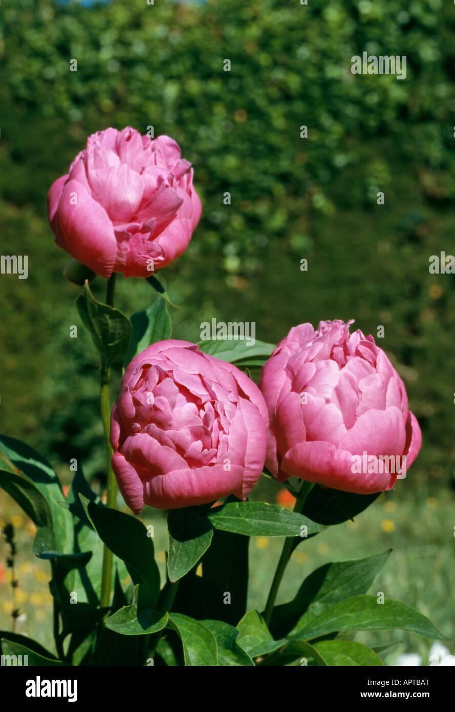 Paeonia rosa eine Reihe von drei ziemlich floral Knospen Stockbild