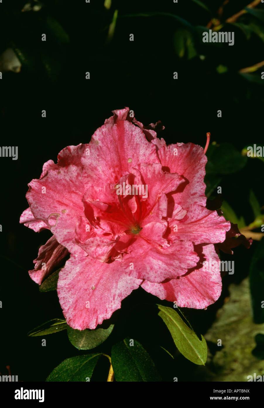 Azalee Rhododendron Rosa Geädert meliert attraktive Stockbild