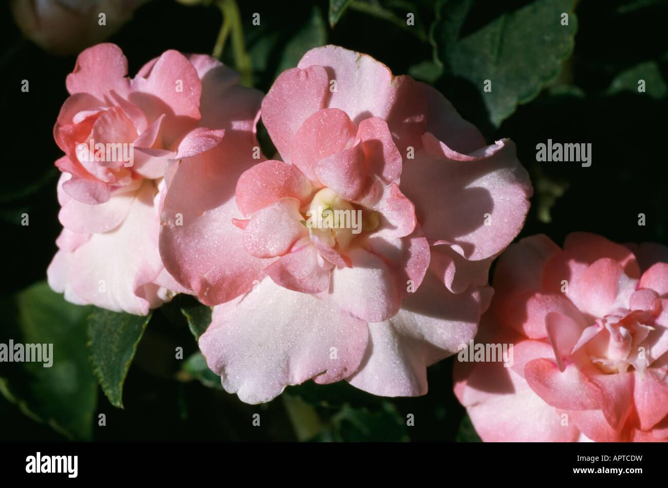 Begonie Pfirsich rosa doppelte kostbarste schillernde Rüschen feminine anspruchsvoll Stockbild
