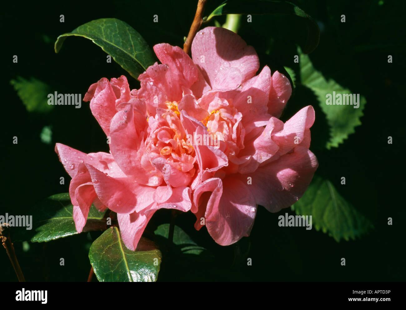 Kamelie Pfirsich-Rosa Rüschen-Regen Tropfen verdampfen unter Sonnenstrahlen Stockbild