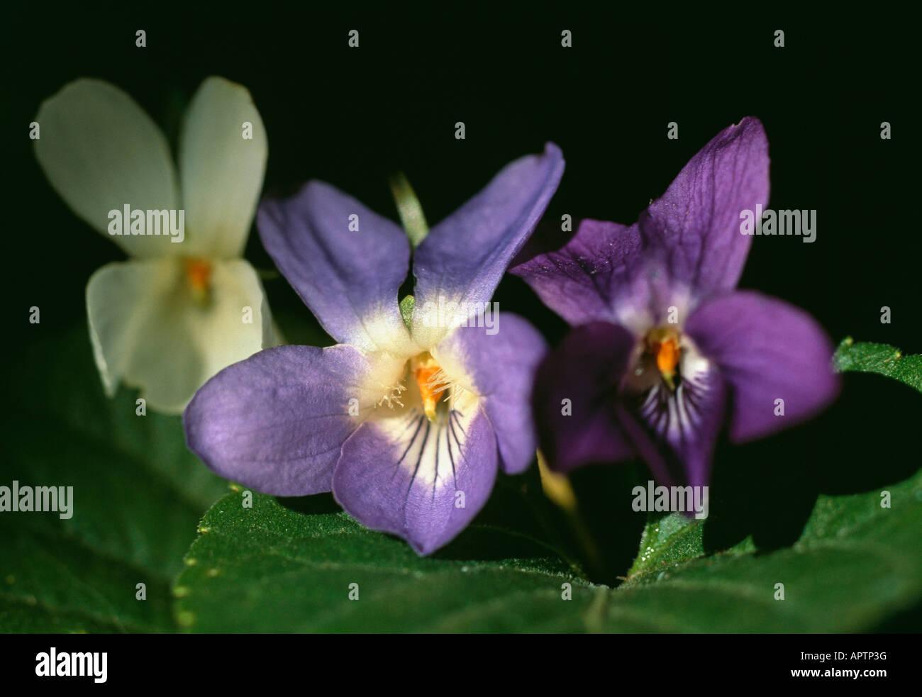Viola Odorata blau violett weiß ein hübsches trio Stockbild