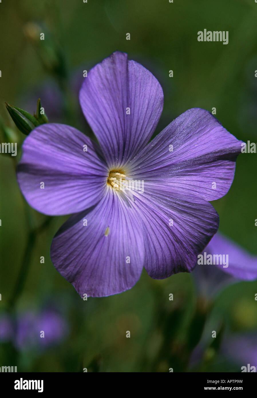 Linum Perenne blaue natürliche Eleganz in einer wilden Blume Stockbild