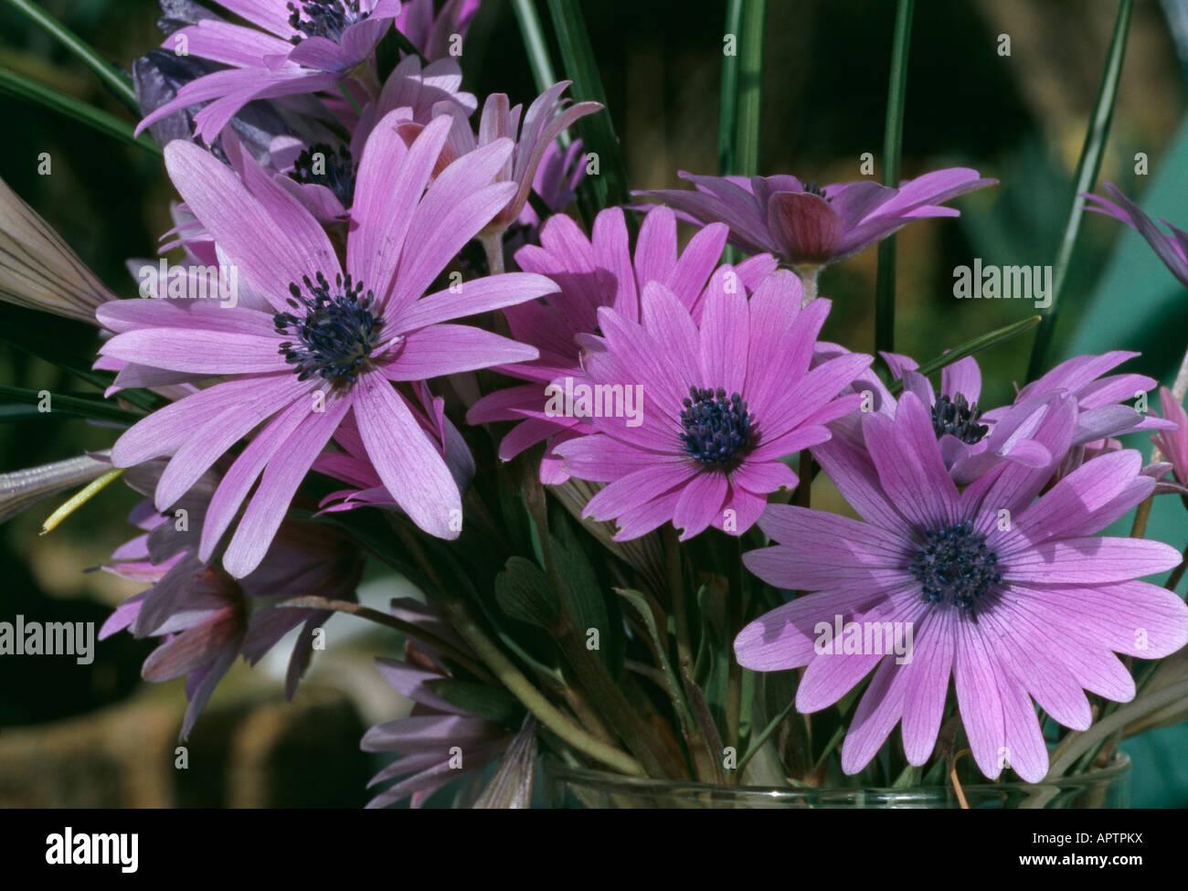 Rosa Anemone Blanda um eine Vase mit wilden Frühlingsblumen zu beleben Stockbild