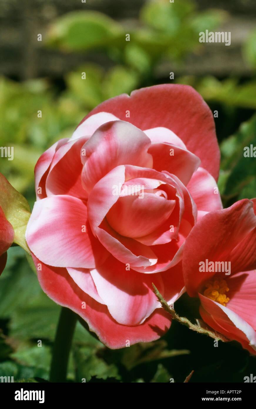 Begonie rot gefärbt mit weißen Charme jubeln Stockbild