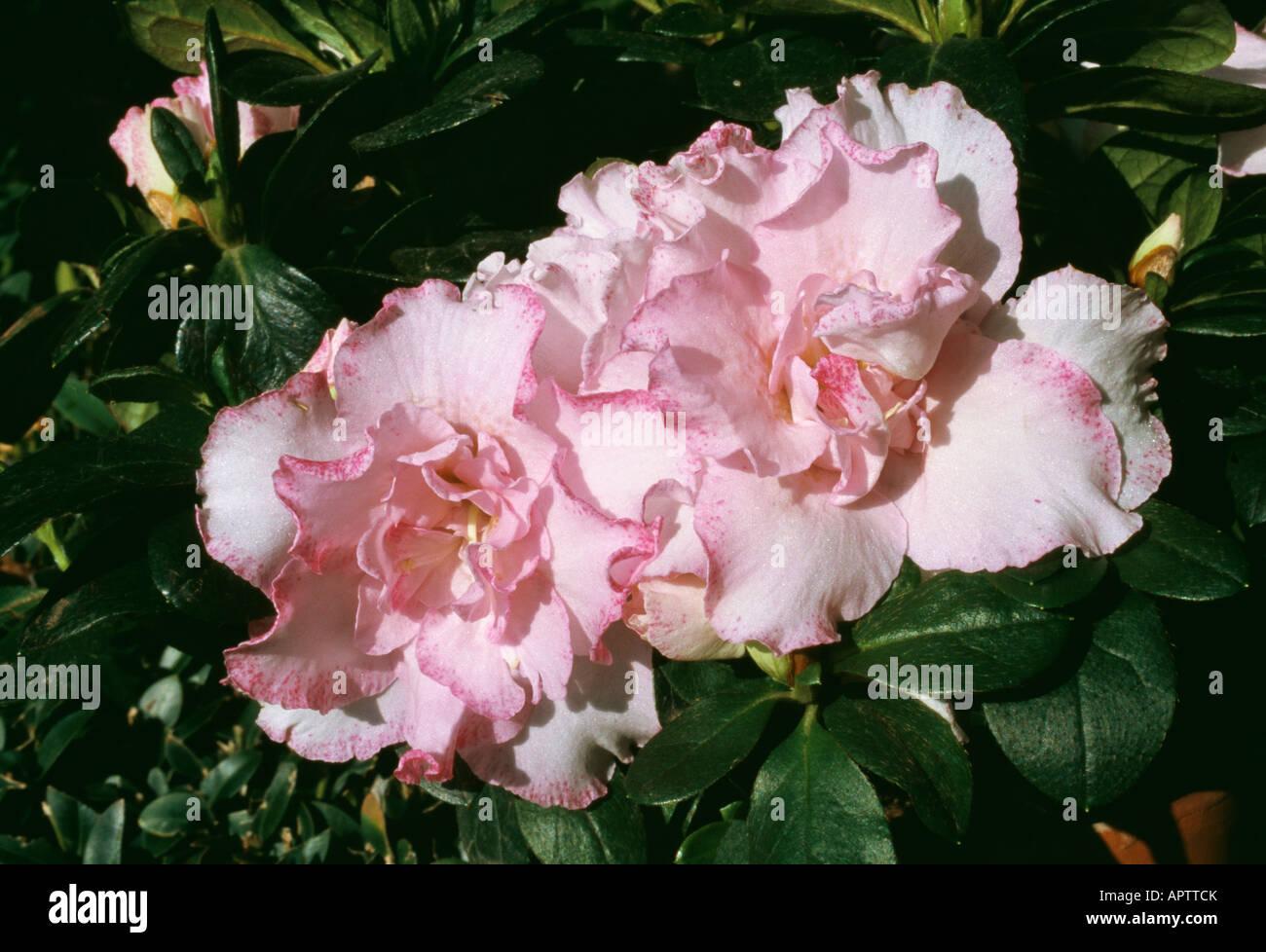 Azalee Rhododendron zart rosa weiblich mit einem violetten Rand verbessert Stockbild