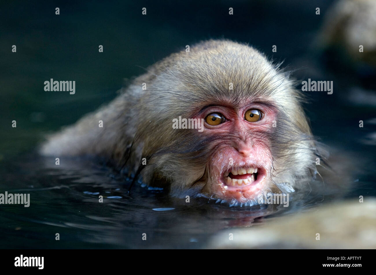 japanischen makaken baby macaca fuscata auszusetzen ihre z hne ver rgert beim baden in hei en. Black Bedroom Furniture Sets. Home Design Ideas
