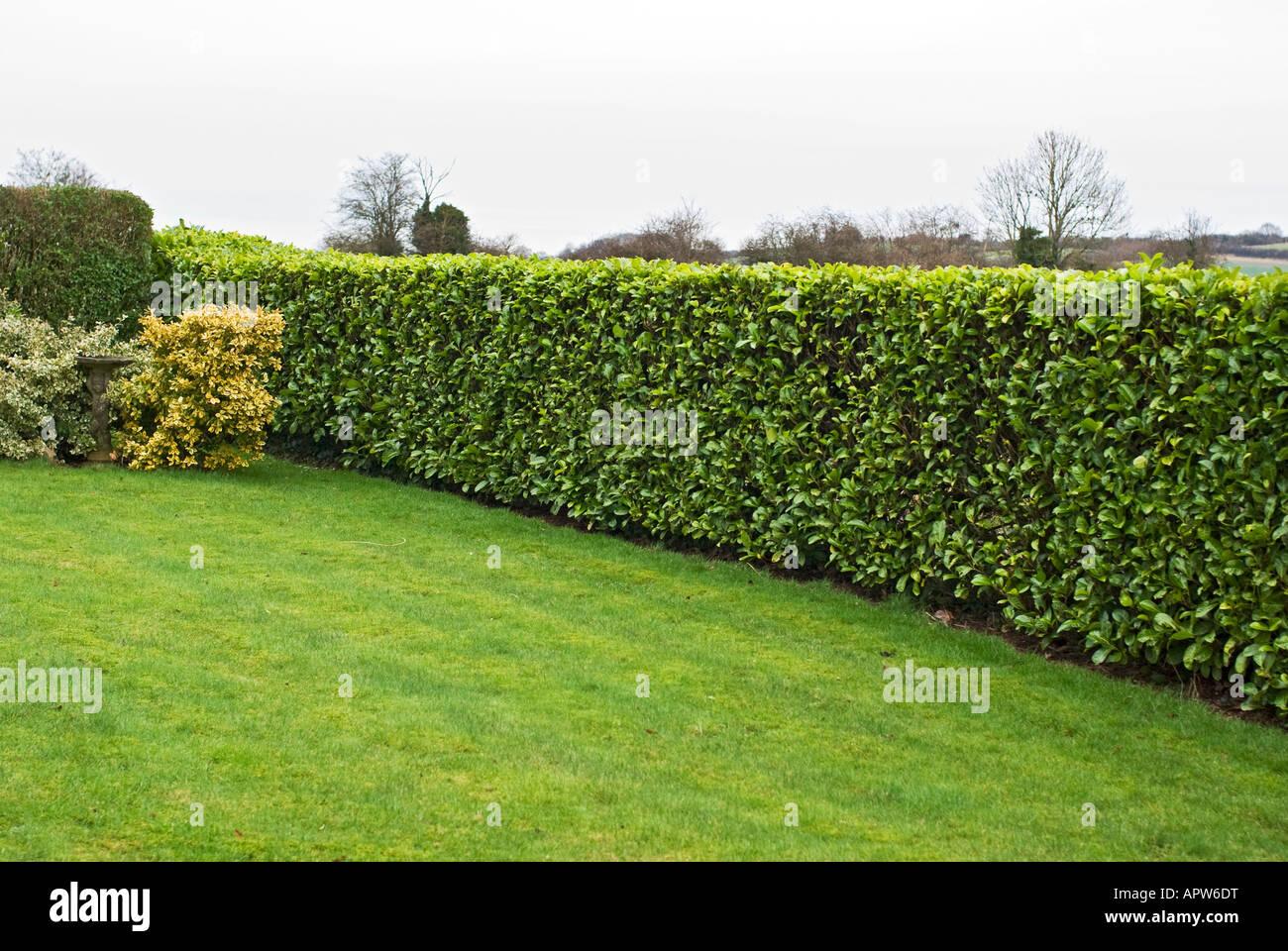 Fabelhaft Ordentlich abgeschnitten Lorbeer-Hecke in einem Garten @MV_26