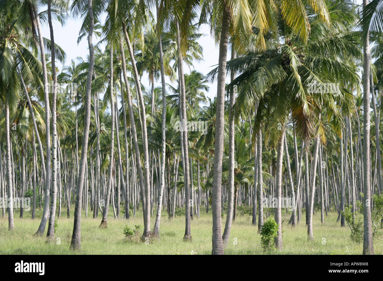 kokospalme cocos nucifera plantage kenia stockfoto bild 9067415 alamy. Black Bedroom Furniture Sets. Home Design Ideas