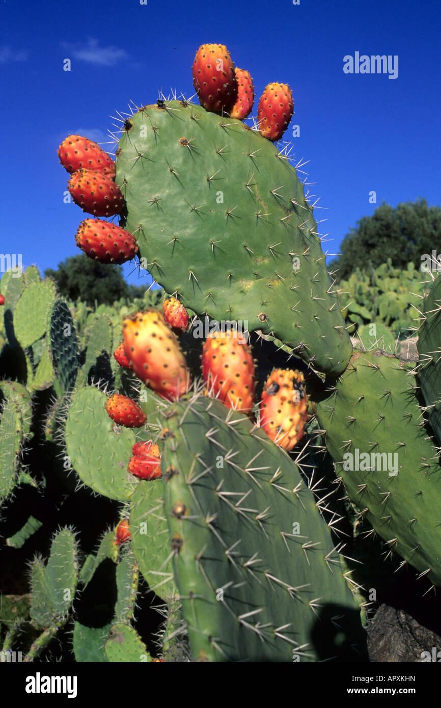 Nahaufnahme von Kaktusfeigen Früchte Stockbild