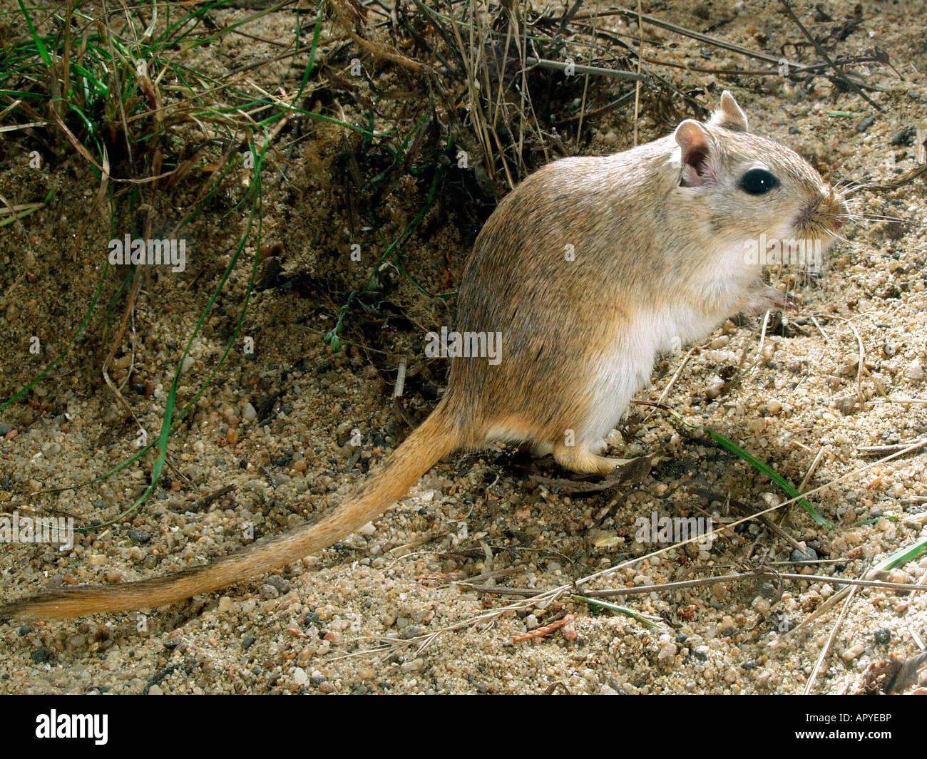 Merione de Mongolie Ou Gerbille Meriones Unguiculatus Originaire de Mongolie Chine et Russie allein Tier in Gefangenschaft Stockbild