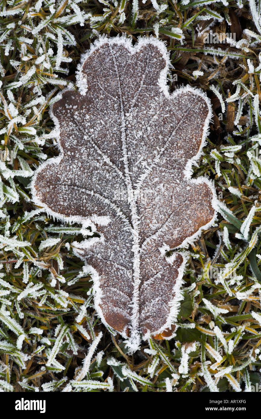 Gefrostet Eichenblatt auf der gefrorenen Heide, New Forest National Park Stockbild