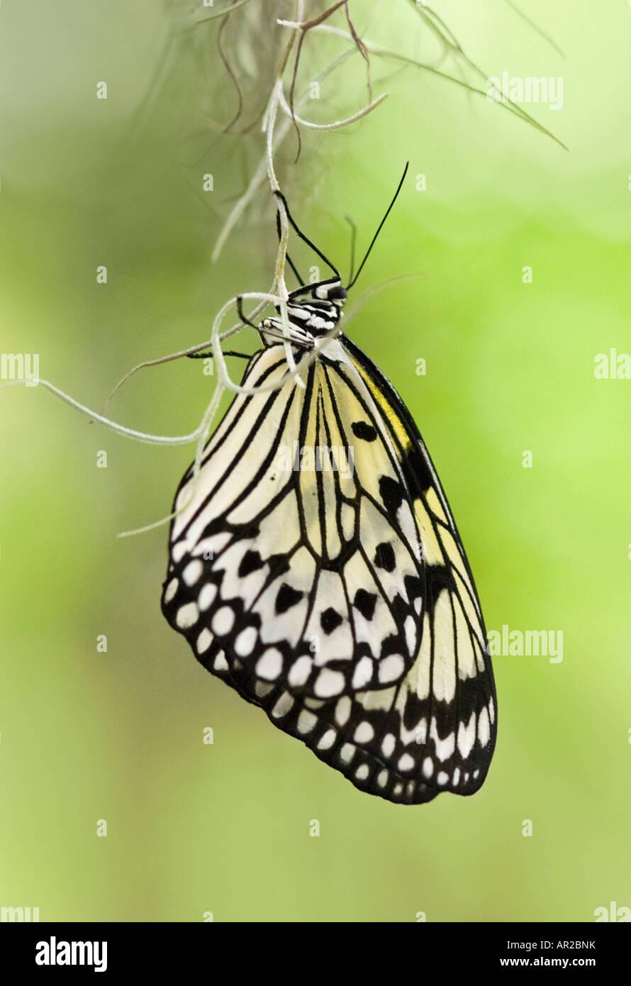 Baum Nymphe Butterfly auch bekannt als Papier Kite Butterfliy und Reispapier Schmetterling Stockbild