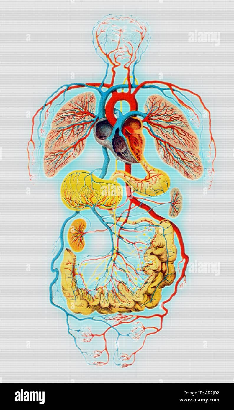 historische menschliche anatomische Darstellung, Herz, Lunge, Herz ...