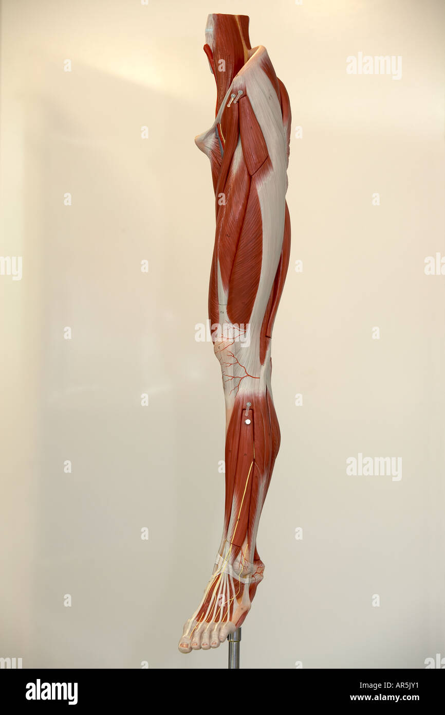 Anatomisches Modell des menschlichen Bein Stockfoto, Bild: 9112368 ...