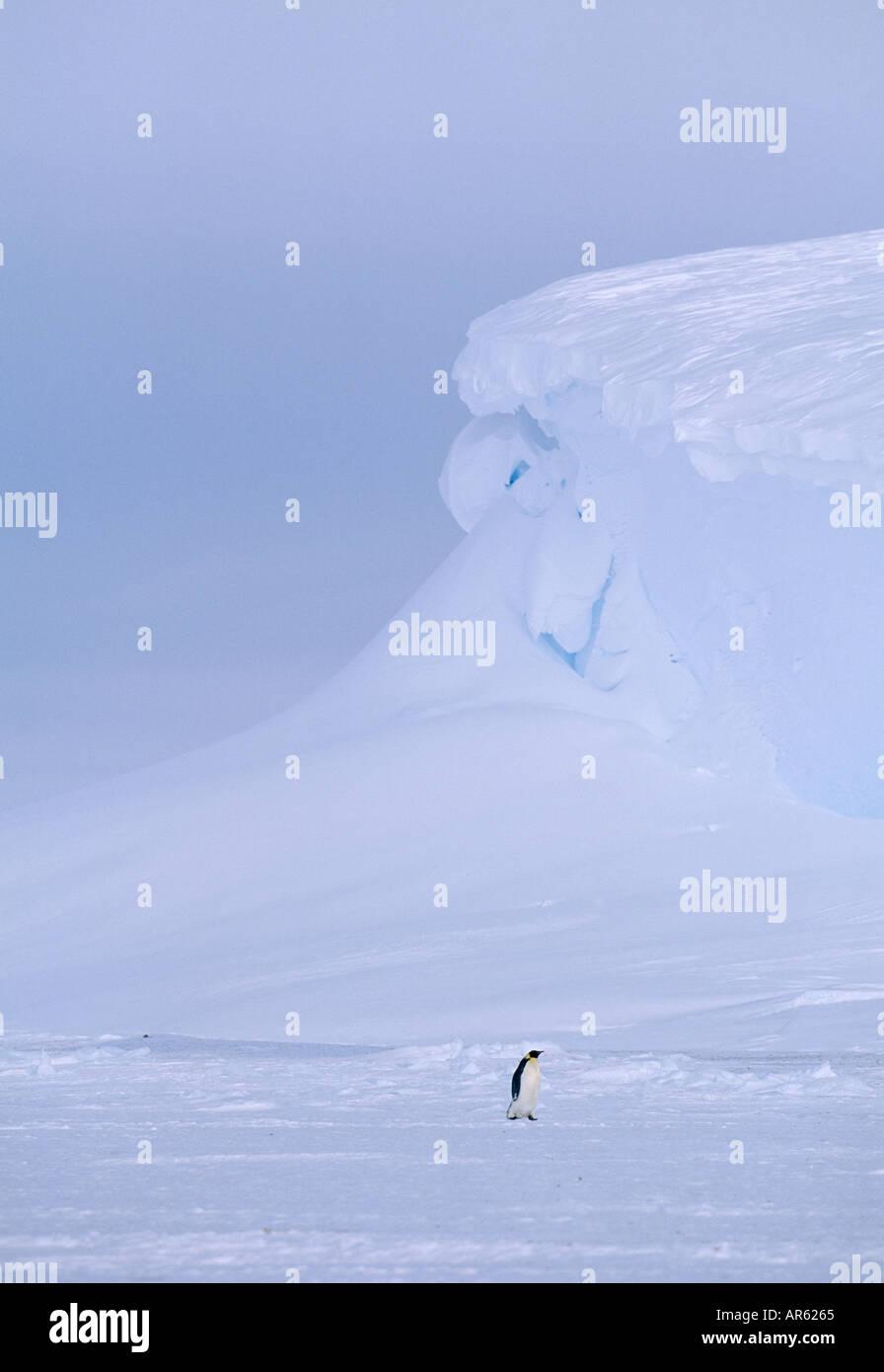 Kaiserpinguine Aptenodytes forsteri Lone nach Rückkehr in die Kolonie über Meereis der Weddell Meer Antarktis november Stockbild