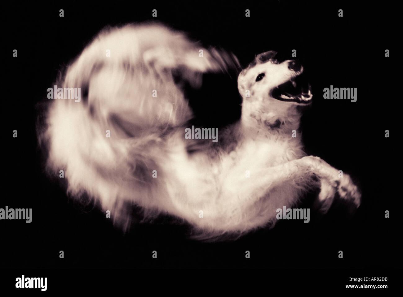Barsoi Hund springen und drehen Stockbild